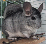 Chinchilla Chinchilla