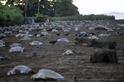 Ridley Turtles