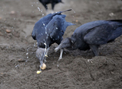 vultures eating turtle eggs
