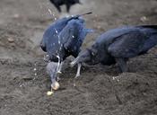 vultures eating turtle eggs